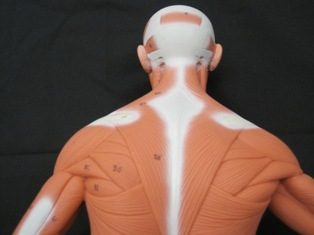 anatomy-model-muscles-back-029