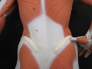 anatomy-model-muscles-back-040
