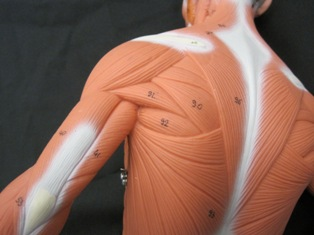 anatomy-model-muscles-back-shoulder-37