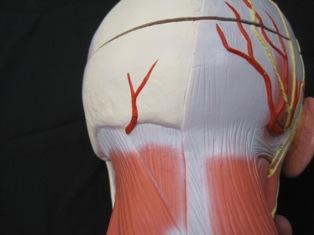 anatomy-model-muscles-head-801