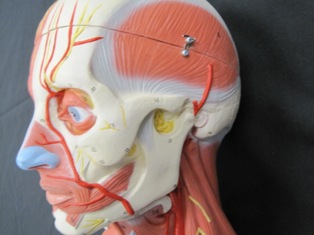 anatomy-model-muscles-neck-708