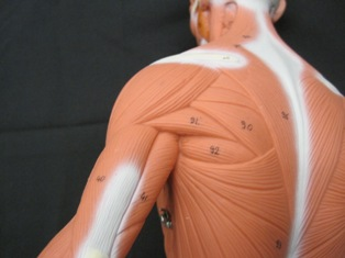 anatomy-model-muscles-shoulder-030