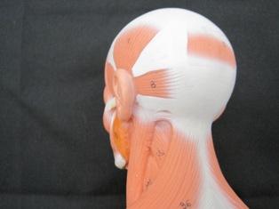 anatomy-model-oblique-neck-027