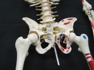 anatomy-model-pelvis-017