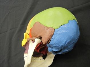 anatomy-model-skull-502