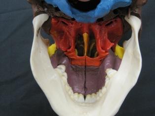 anatomy-model-skull-504