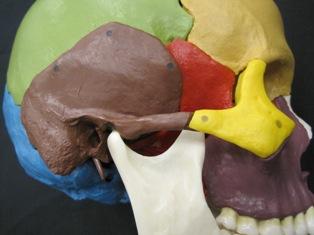 anatomy-model-skull-507