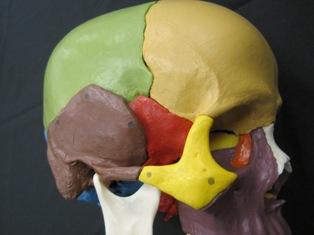 anatomy-model-skull-508