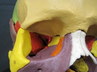 anatomy-model-skull-509