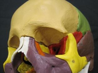 anatomy-model-skull-511