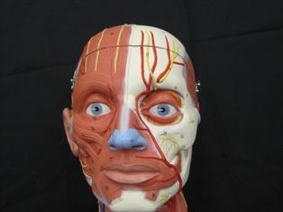 anatomy-modell-muscle-head-6011