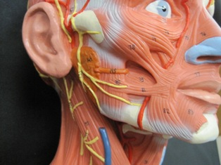 anatomy-modell-muscle-head-6013