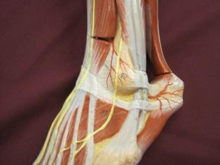 ankle-nerves-oblique