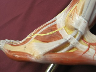 ankle-tendons-lateral