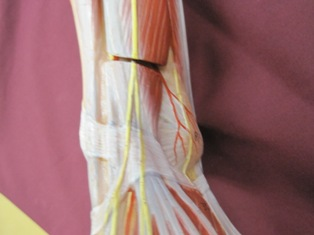 ankle-tendons-muscles-anterior (1)