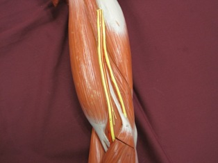 bicep-muscle-lateral (1)