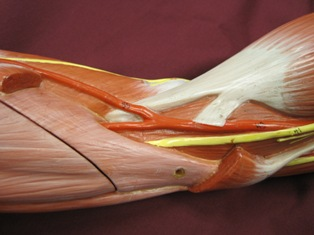 elbow-muscles-medial-2- (1)