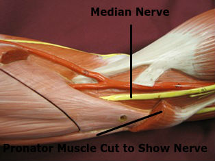 elbow-muscles-pronator-teres