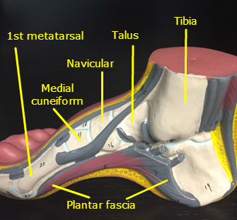 foot-ankle-model-muscle-arch-labeled