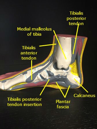 foot-ankle-model-muscles-labeled