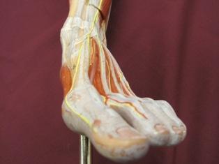 foot-anterior-dorsal