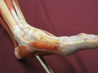 foot-muscles-oblique (1)