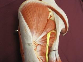 gluteal-deep-muscles (1)