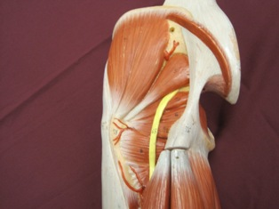 gluteal-sciatic-nerve-muscles (1)