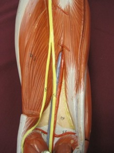 hamstring-muscles-deep-knee (1)