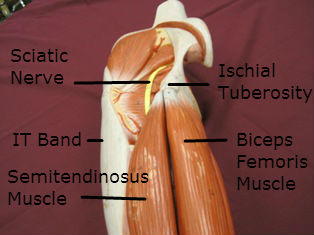 hamstring-muscles-origin-labeled