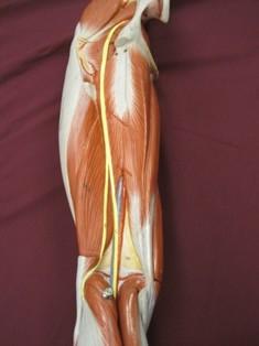 hamstring-muscles-sciatic-deep