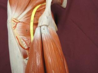 hamstring-origin-muscles-2