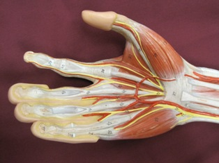 hand-muscles-anterior-1