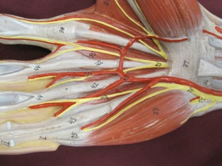 hand-muscles-anterior-2 (1)
