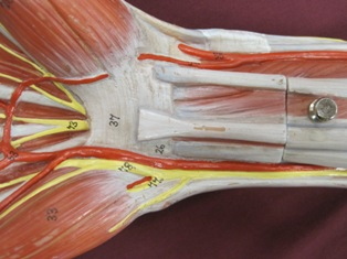 hand-muscles-anterior-carpal-tunnel