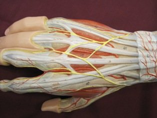 hand-muscles-posterior