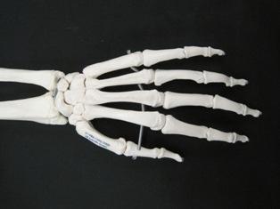 hand-posterior-bone-carpal-1657