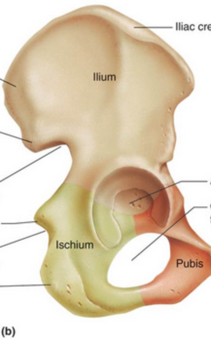 ilium-lateral-view-no-labels