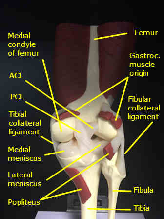 knee-model-posterior-labeled