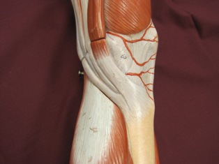 knee-muscles-medial-5 (1)