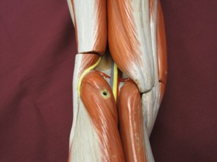 knee-muscles-posterior