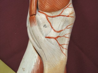 knee-tendon-medial-2 (1)