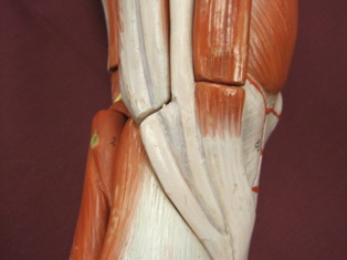 knee-tendons-medial