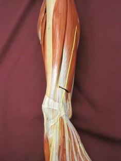 lower-leg-anterior-muscles