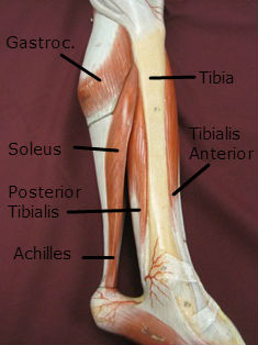 lower-leg-muscles-achilles-2-labeled