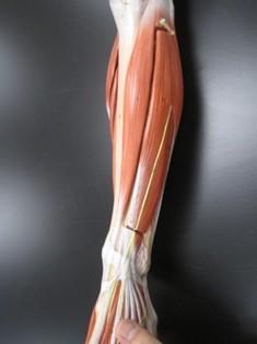 lower-leg-muscles-anterior