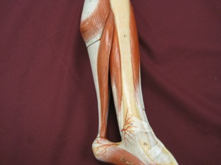 lower-leg-muscles-medial-achilles (1)