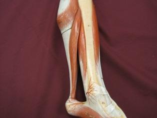 lower-leg-muscles-medial-achilles