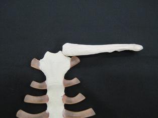 manubrium-clavicle-bone-1601