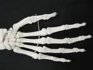 phalanges-anterior-hand-bone-1658